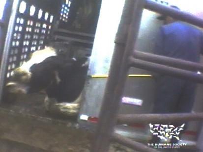 humane-cow.jpg