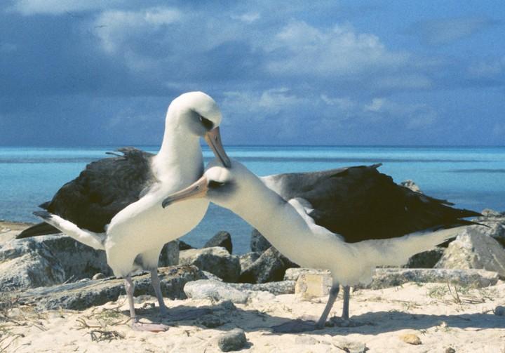 laysan-albatrosses-midway-stender1.jpg